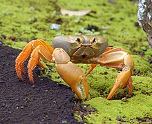 A crab with a smooth, rounded, greyish body is held up on orange-yellow legs. The crab is standing on a gully of moss beside some tarmac.