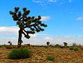 Joshua Tree (2913393144).jpg