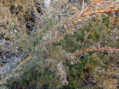 Juniperus communis var depressa SCA-02664.jpg