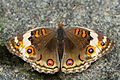 Junonia orithya female back 20130817.jpg