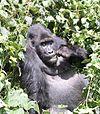Kahuzi gorilla.jpg