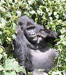 A gorilla eating in a shrub.