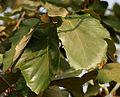 Kanak Champa (Pterospermum acerifolium) in Hyderabad W IMG 7122.jpg