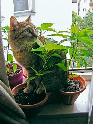 """Deutsch: Katze """"Emmy"""" im Blumentopf ..."""