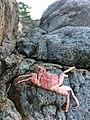 Kepiting Merah4.jpg