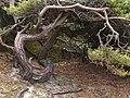 Kiefer als Unterschlupf im Zauberwald.jpg