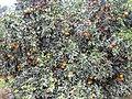 Kinnow Orchard - panoramio (4).jpg