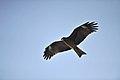 Kite fry free - panoramio.jpg
