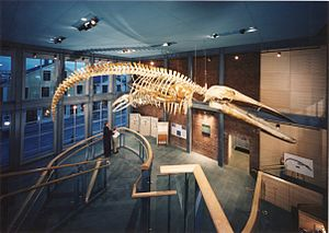 New Bedford Whaling Museum - The blue whale skeleton known as KOBO (King of the Blue Ocean) at the New Bedford Whaling Museum
