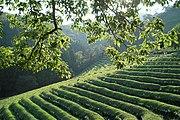 Korea-Boseong-Green.tea-09