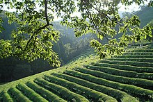 Korea-Boseong-Green.tea-09.jpg