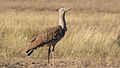 Kori bustard, Ardeotis kori, at Kgalagadi Transfrontier Park, Northern Cape, South Africa (34405237481).jpg