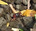 Krabbe bioko 1.jpg