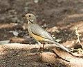 Kurrichane Thrush (Turdus libonyanus) (22425782012).jpg