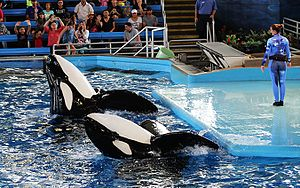 "SeaWorld San Antonio - Kyuquot (back) and Tuar (front) perform at Shamu Theater during ""One Ocean"""