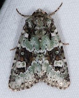 <i>Lacinipolia strigicollis</i> Species of moth