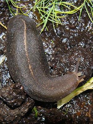 Terrestrial mollusc - Land systellommatophoran slug Laevicaulis alte