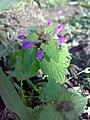 Lamium purpureum 09.jpg