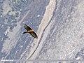 Lammergeier (Gypaetus barbatus) (31752320040).jpg