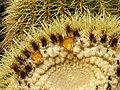 Lanzarote May 2010 - cactus detail at Jardin de cactus - panoramio.jpg