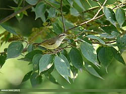 Large-billed Leaf Warbler (Phylloscopus magnirostris) (24769548927).jpg