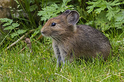 Large-eared Pika Manali Himachal Pradesh India 20.08.2013.jpg