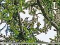 Large-spotted Nutcracker (Nucifraga multipunctata) (28146902732).jpg