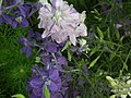 Larkspur from Lalbagh flower show Aug 2013 8060.JPG