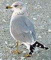 Larus delawarensis (ring-billed gull).jpg