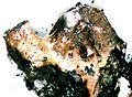 Lasallia pensylvanica.jpg