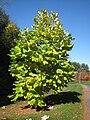 Lasdon Arboretum - Magnolia macrophylla - IMG 1489.jpg