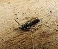 Lasioglossum sp. morio group (36034784613).jpg