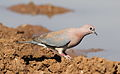 Laughing Dove, Spilopelia senegalensis, at Mapungubwe National Park, Limpopo, South Africa (18649549108).jpg