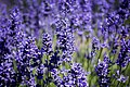 Lavender flowers in bloom, Oregon (35764444215).jpg