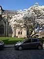 Le magnolia et l'eglise saint malo a dinan - panoramio.jpg