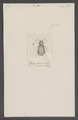 Lebasiella - Print - Iconographia Zoologica - Special Collections University of Amsterdam - UBAINV0274 026 05 0005.tif