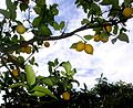 Lemon tree (4544462965).jpg