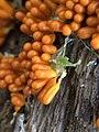 Leocarpus fragilis 112151487.jpg