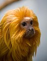 Leontopithecus rosalia -Prospect Park Zoo, Brooklyn, New York City, USA-8a.jpg