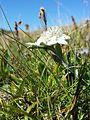 Leontopodium alpinum subsp. alpinum sl2.jpg