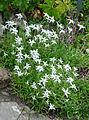 Leontopodium stracheyi-Jardin d'altitude du Haut-Chitelet (3).jpg