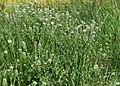 Lepidium campestre kz14.jpg