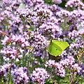 Lepidoptera (Butterfly) 02.jpg