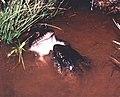Leptodactylus labyrinthicus10.jpg