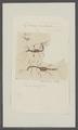 Leptomera ventricosa - - Print - Iconographia Zoologica - Special Collections University of Amsterdam - UBAINV0274 098 05 0007.tif