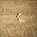 Lepus corsicanus.jpeg