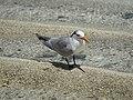 Lesser Crested Tern, Heron Island, Queensland (32118627211).jpg