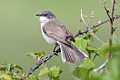 Lesser Whitethroat.jpg