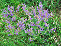Leutratal-Salvia-pratensis-2481.jpg