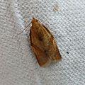 Light Brown Apple Moth. Epiphyas postvitanna - Flickr - gailhampshire.jpg